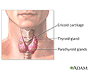 Parathyroidectomy - normal anatomy