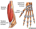 Tendon vs. ligament