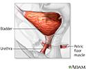 Bladder anatomy