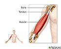 Tendons and muscles